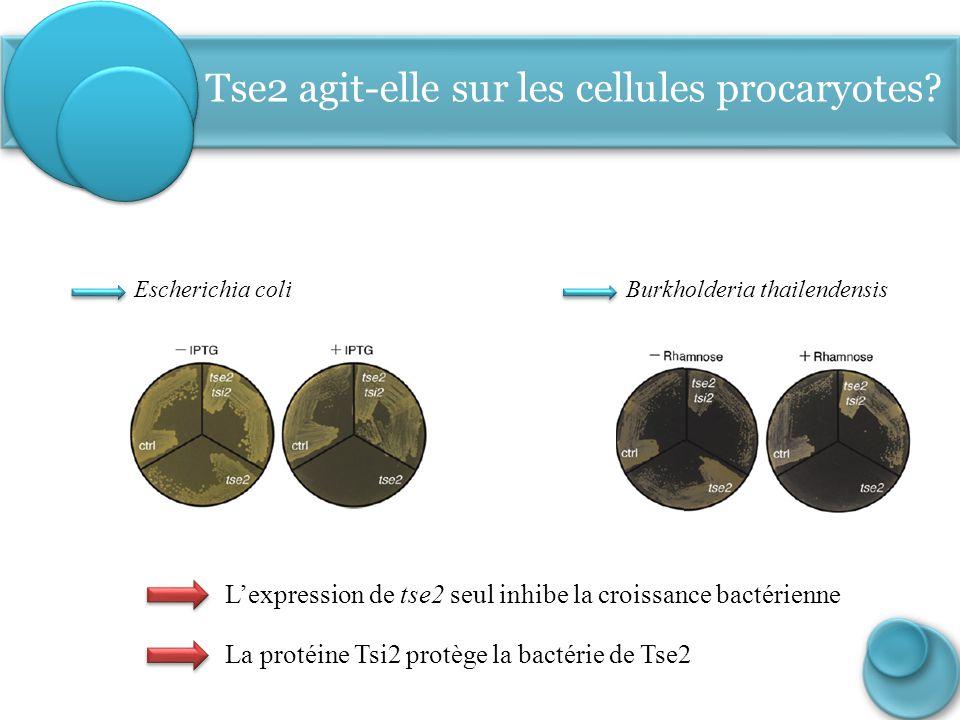 Escherichia coli Tse2 agit-elle sur les cellules procaryotes? Burkholderia thailendensis L'expression de tse2 seul inhibe la croissance bactérienne La