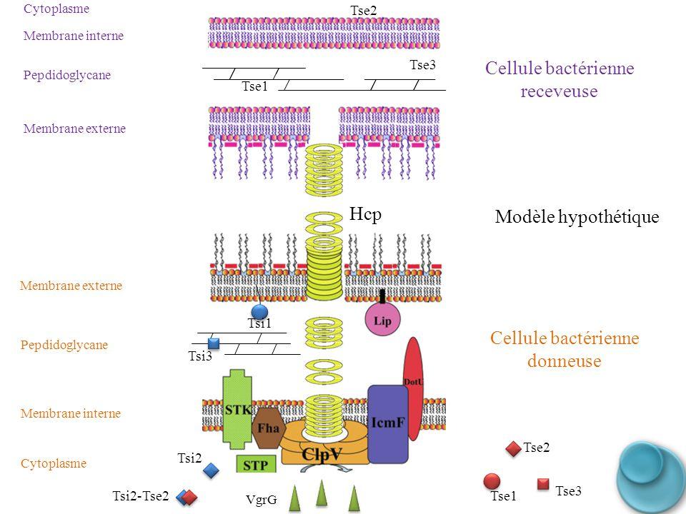 Tse3 Tse2 Tse1 Membrane interne Membrane externe Membrane interne Membrane externe Tsi2 Tsi3 Tsi1 Tse3 Tse1 Tse2 Pepdidoglycane Cellule bactérienne re