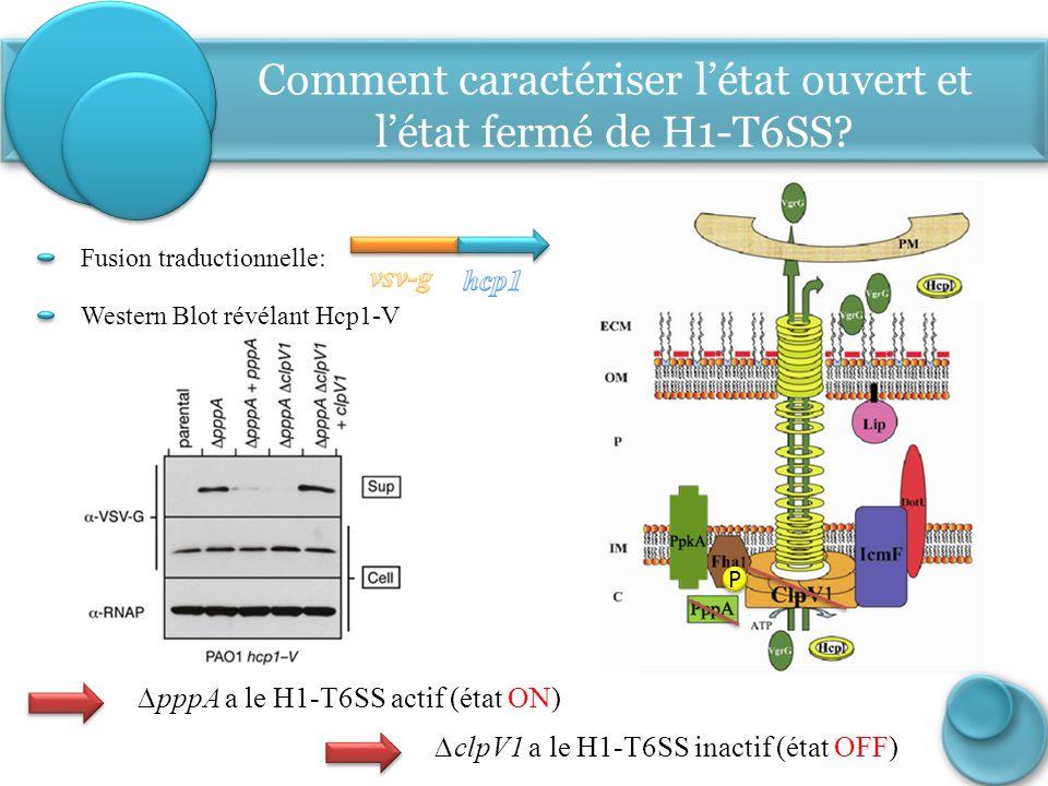∆pppA a le H1-T6SS actif (état ON) ∆clpV1 a le H1-T6SS inactif (état OFF) Comment caractériser l'état ouvert et l'état fermé de H1-T6SS? Western Blot