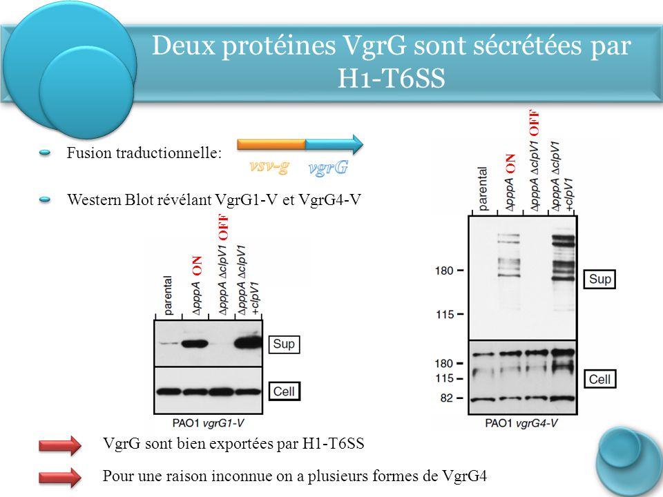 Tse1-3: pas de sécrétion sans Hcp (composants) Western Blot révélant Tse1-V, Tse2-V, Tse3-V Fusion traductionnelle: ON OFF ON OFF Trois protéines Tse1, Tse2, et Tse 3 sont sécrétées par H1-T6SS Tse1-3 sont bien exportées par H1-T6SS