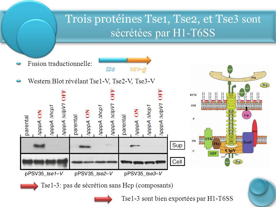 Tse1-3: pas de sécrétion sans Hcp (composants) Western Blot révélant Tse1-V, Tse2-V, Tse3-V Fusion traductionnelle: ON OFF ON OFF Trois protéines Tse1