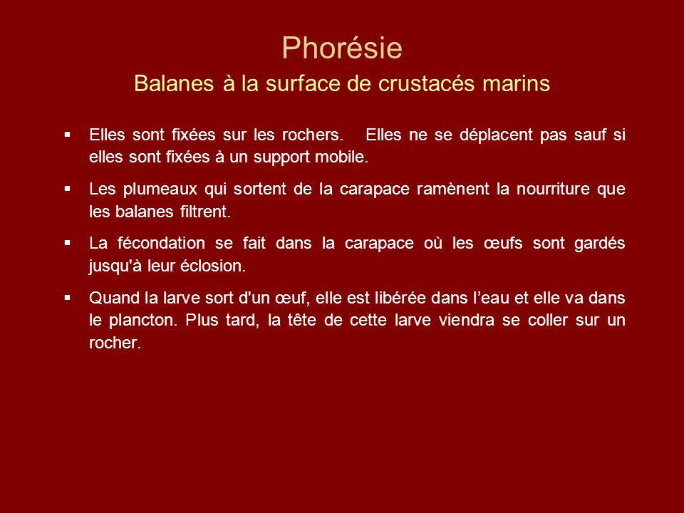 Phorésie Balanes à la surface de crustacés marins  Elles sont fixées sur les rochers. Elles ne se déplacent pas sauf si elles sont fixées à un suppor