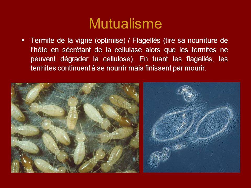 Mutualisme  Termite de la vigne (optimise) / Flagellés (tire sa nourriture de l'hôte en sécrétant de la cellulase alors que les termites ne peuvent dégrader la cellulose).