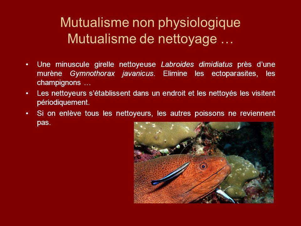 Mutualisme non physiologique Mutualisme de nettoyage … Une minuscule girelle nettoyeuse Labroides dimidiatus près d'une murène Gymnothorax javanicus.