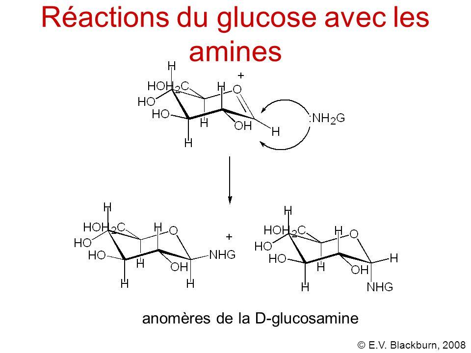 © E.V. Blackburn, 2008 Réactions du glucose avec les amines anomères de la D-glucosamine