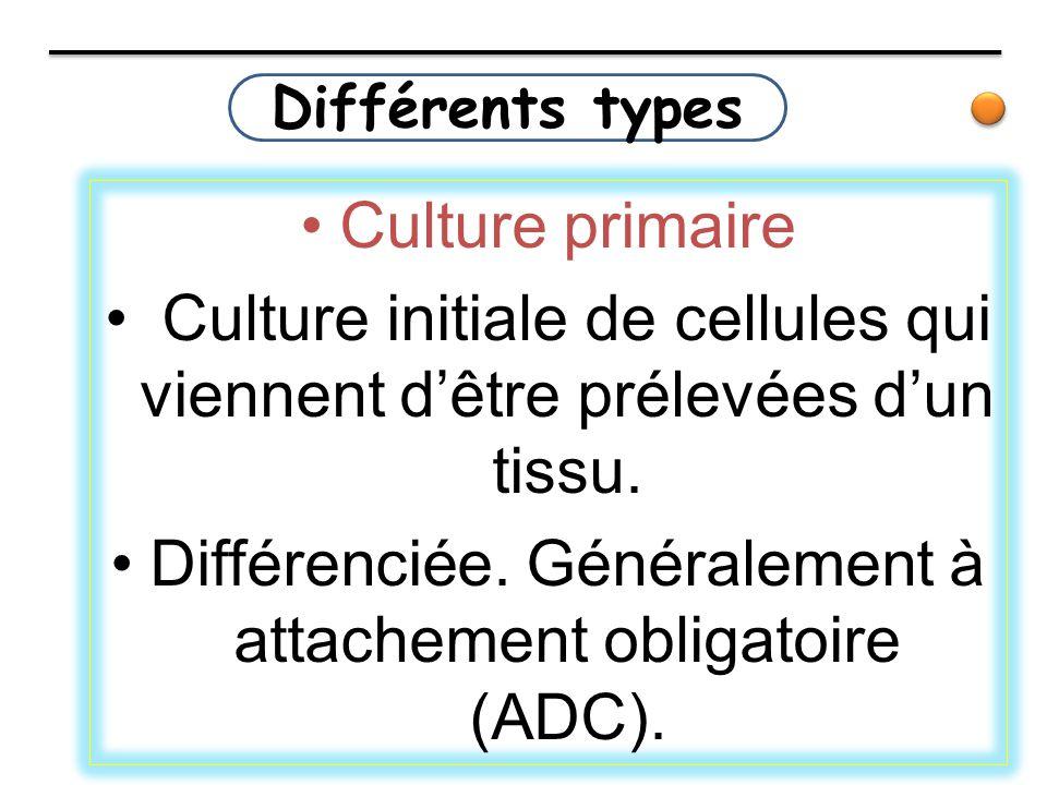 Différents types Culture primaire Culture initiale de cellules qui viennent d'être prélevées d'un tissu. Différenciée. Généralement à attachement obli