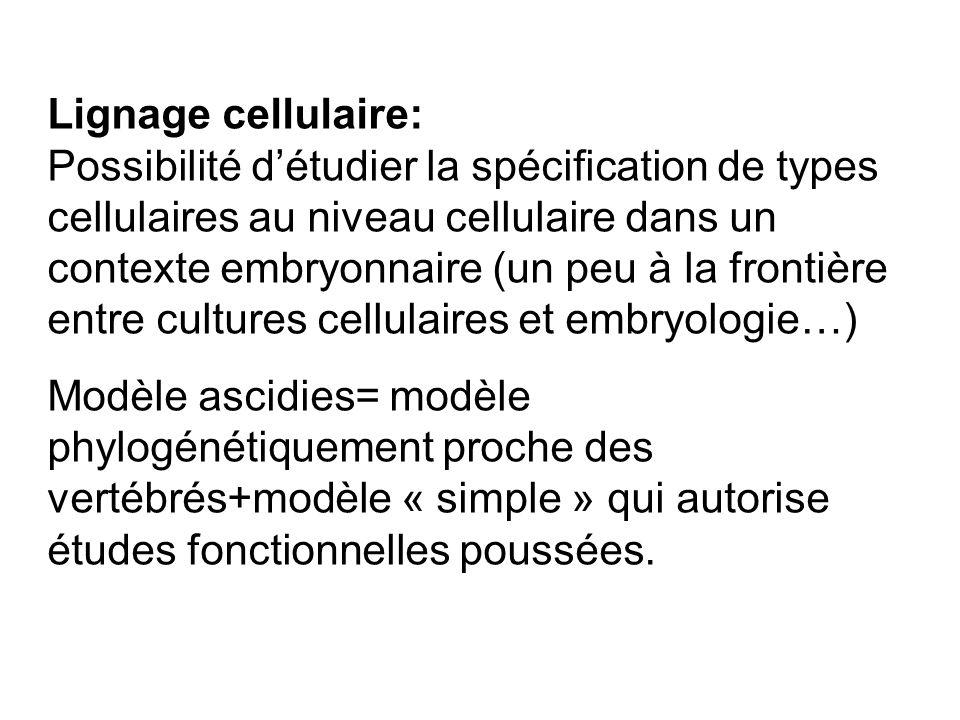 Lignage cellulaire: Possibilité d'étudier la spécification de types cellulaires au niveau cellulaire dans un contexte embryonnaire (un peu à la fronti