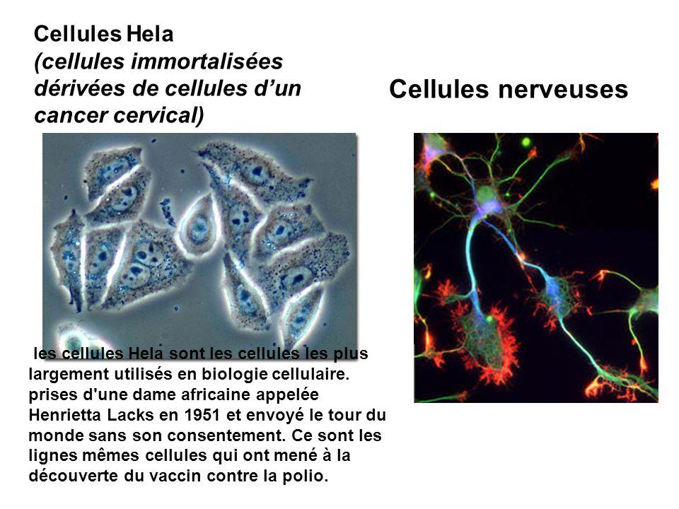 Cellules Hela (cellules immortalisées dérivées de cellules d'un cancer cervical) Cellules nerveuses les cellules Hela sont les cellules les plus large