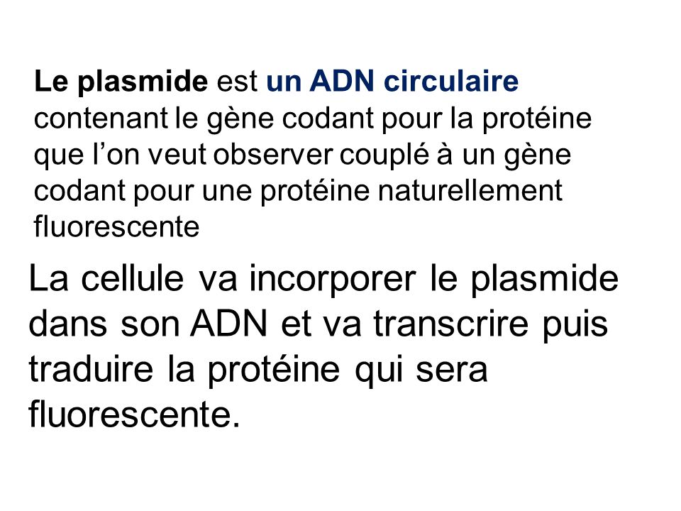 Le plasmide est un ADN circulaire contenant le gène codant pour la protéine que l'on veut observer couplé à un gène codant pour une protéine naturelle