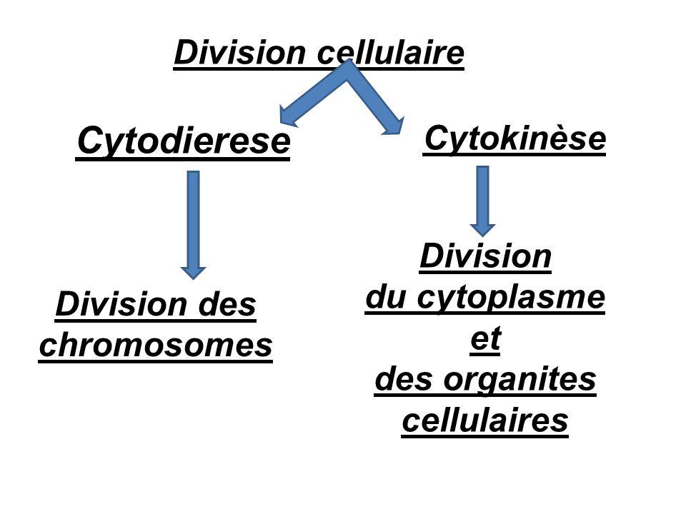 Cytokinèse Cytodierese Division du cytoplasme et des organites cellulaires Division des chromosomes