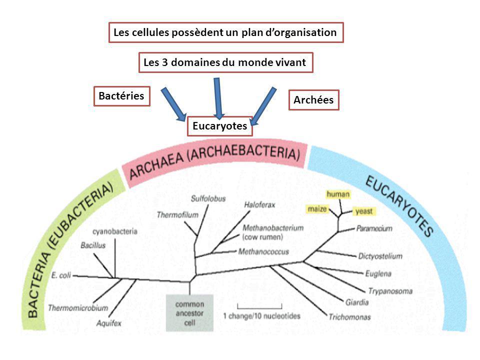 Les cellules possèdent un plan d'organisation Les 3 domaines du monde vivant Bactéries Archées Eucaryotes
