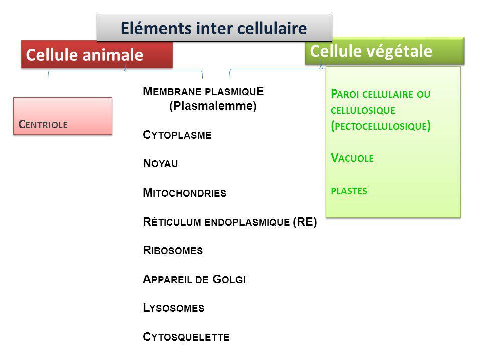 Cellule animale Cellule végétale M EMBRANE PLASMIQU E (Plasmalemme) C YTOPLASME N OYAU M ITOCHONDRIES R ÉTICULUM ENDOPLASMIQUE (RE) R IBOSOMES A PPARE