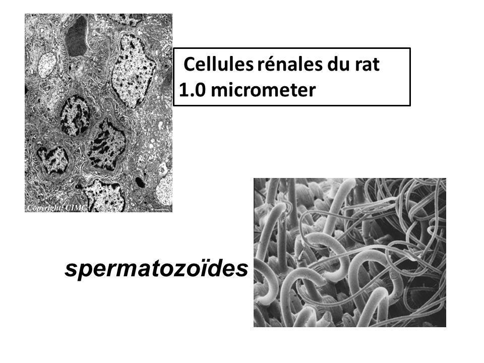 Cellules rénales du rat 1.0 micrometer spermatozoïdes