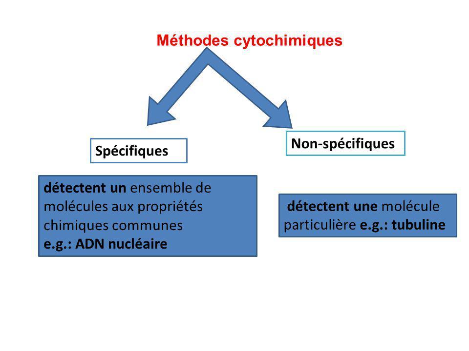 Spécifiques Non-spécifiques Méthodes cytochimiques détectent un ensemble de molécules aux propriétés chimiques communes e.g.: ADN nucléaire détectent
