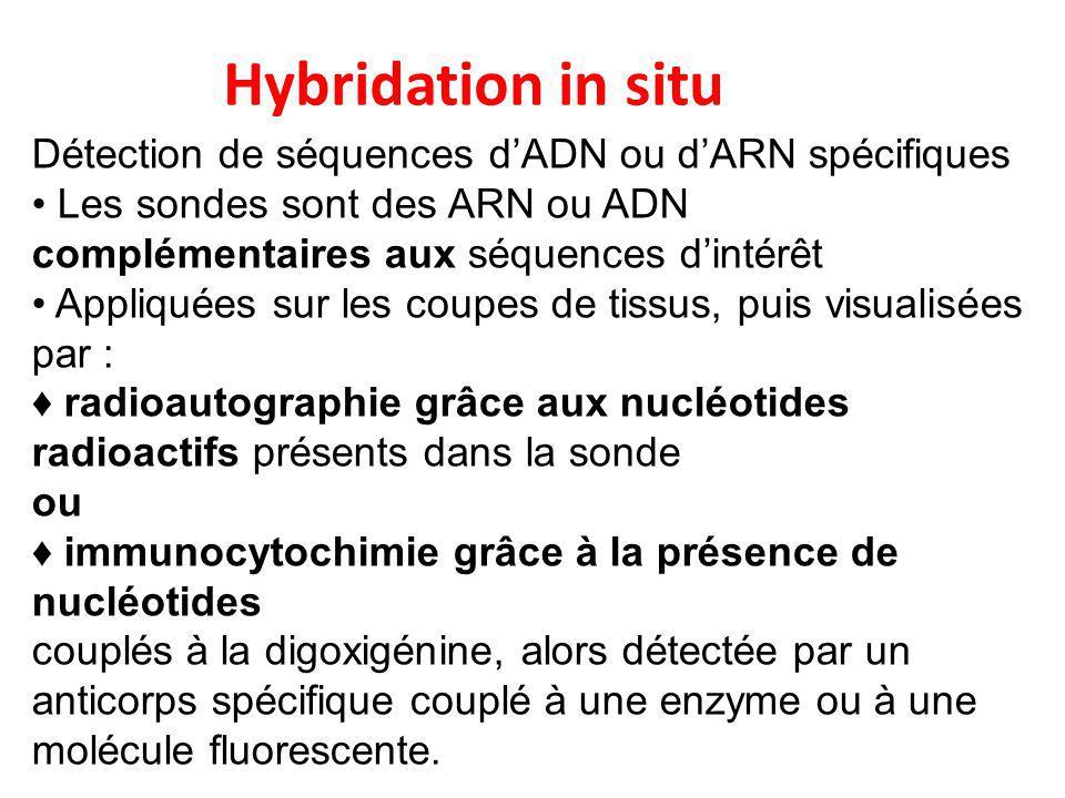 Hybridation in situ Détection de séquences d'ADN ou d'ARN spécifiques Les sondes sont des ARN ou ADN complémentaires aux séquences d'intérêt Appliquée