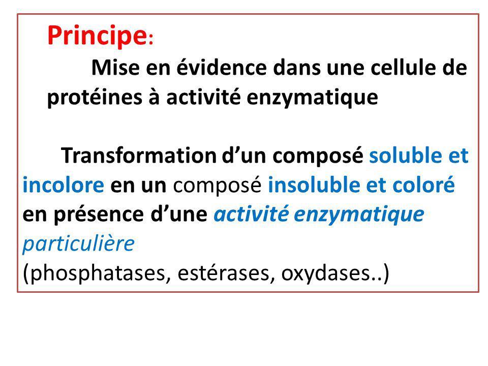 Principe : Mise en évidence dans une cellule de protéines à activité enzymatique Transformation d'un composé soluble et incolore en un composé insolub