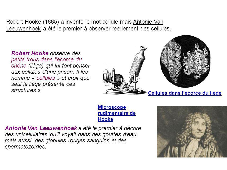 Robert Hooke observe des petits trous dans l'écorce du chêne (liège) qui lui font penser aux cellules d'une prison. Il les nomme « cellules » et croit