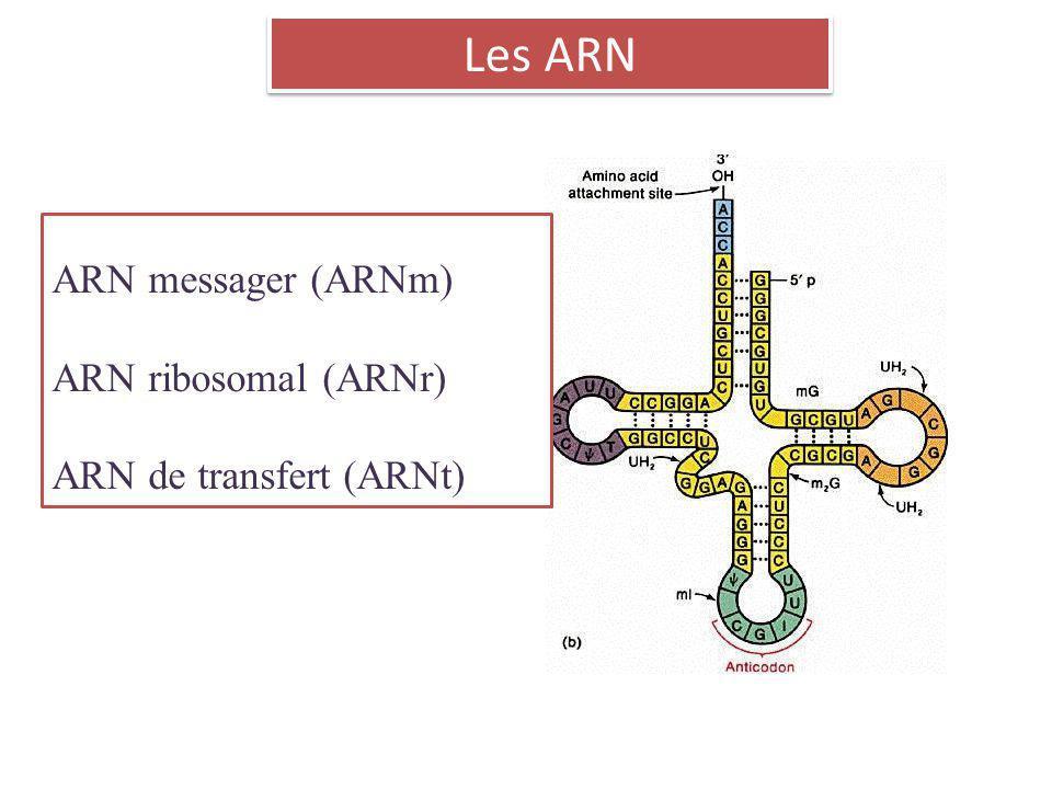 Les ARN ARN messager (ARNm) ARN ribosomal (ARNr) ARN de transfert (ARNt)