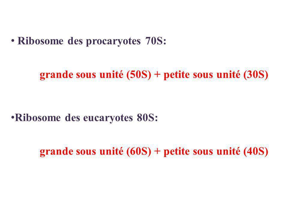 Ribosome des procaryotes 70S: grande sous unité (50S) + petite sous unité (30S) Ribosome des eucaryotes 80S: grande sous unité (60S) + petite sous unité (40S)