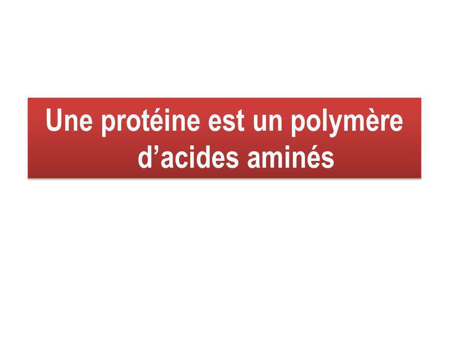 Une protéine est un polymère d'acides aminés