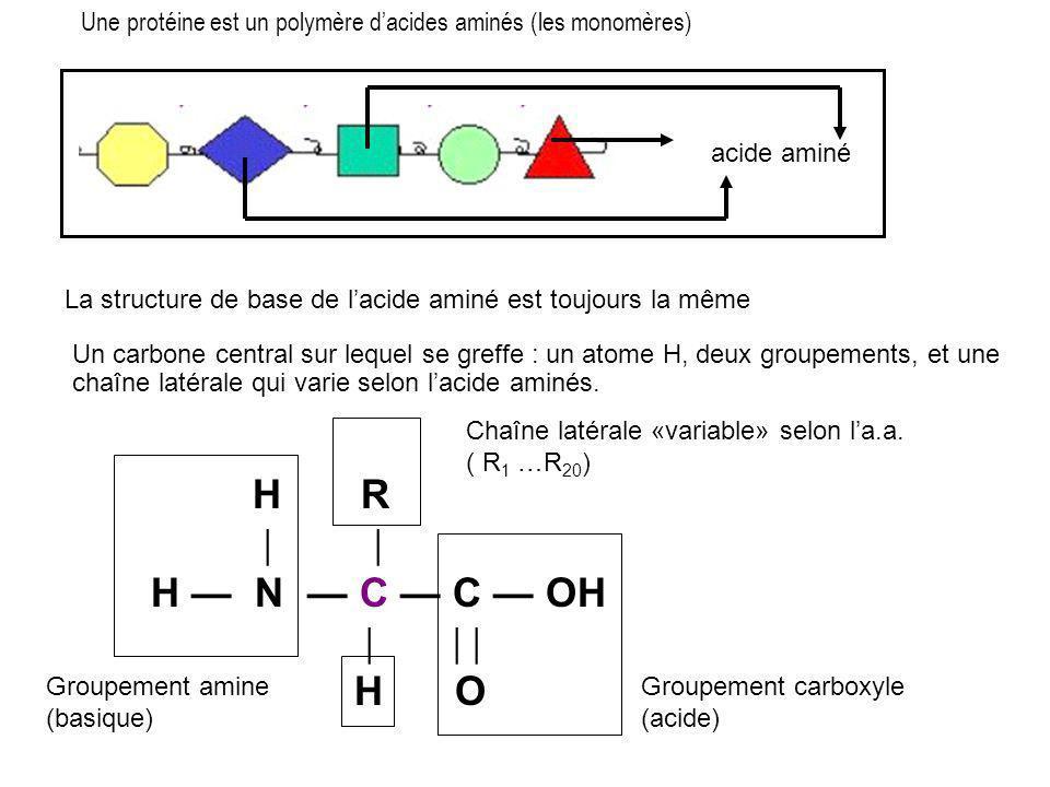 Une protéine est un polymère d'acides aminés (les monomères) acide aminé La structure de base de l'acide aminé est toujours la même Un carbone central sur lequel se greffe : un atome H, deux groupements, et une chaîne latérale qui varie selon l'acide aminés.