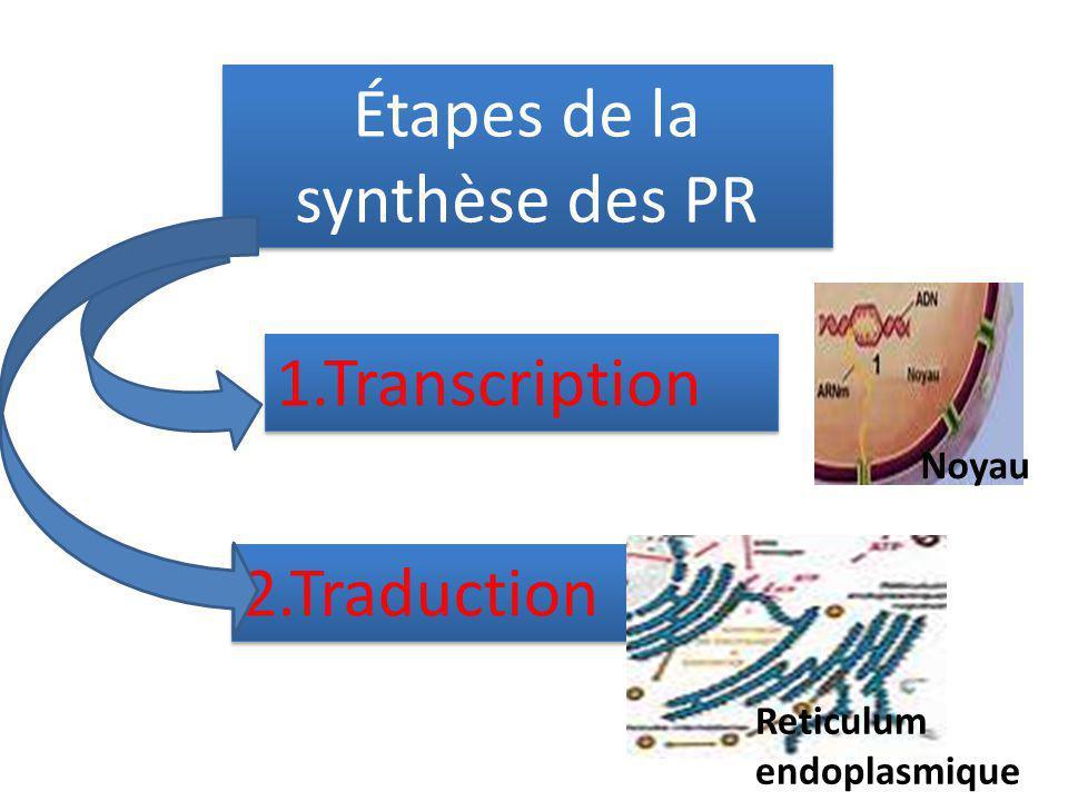 Étapes de la synthèse des PR 1.Transcription 2.Traduction Noyau Reticulum endoplasmique