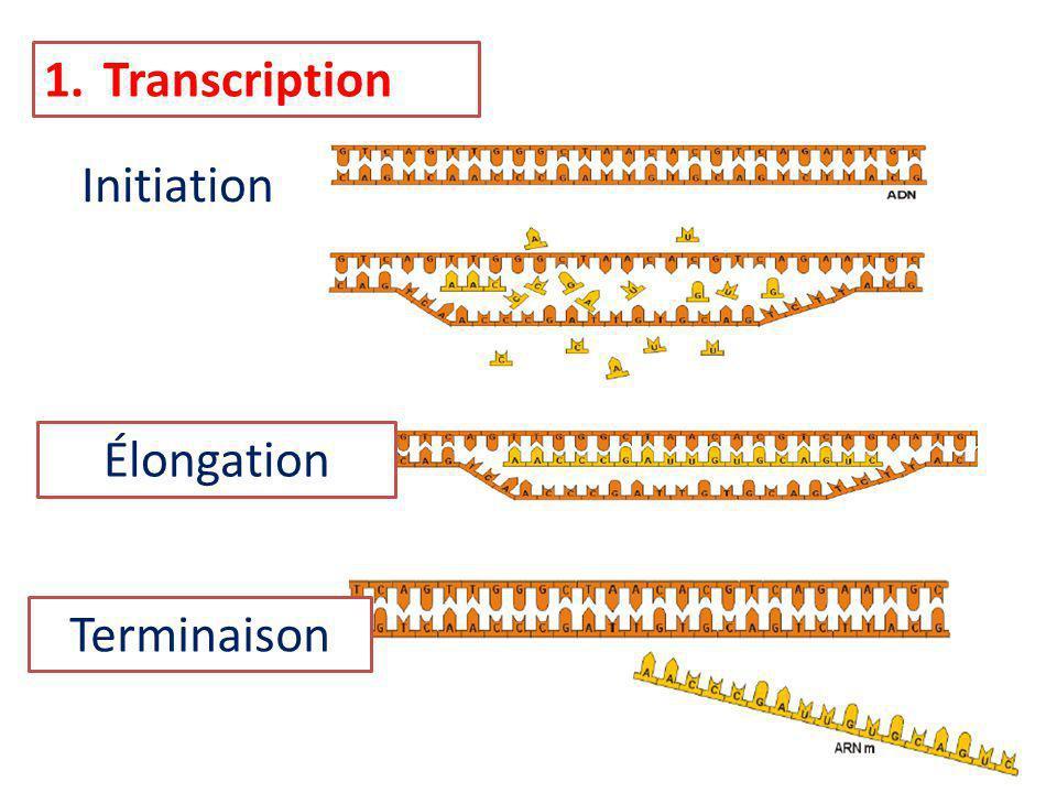1.Transcription Initiation Élongation Terminaison