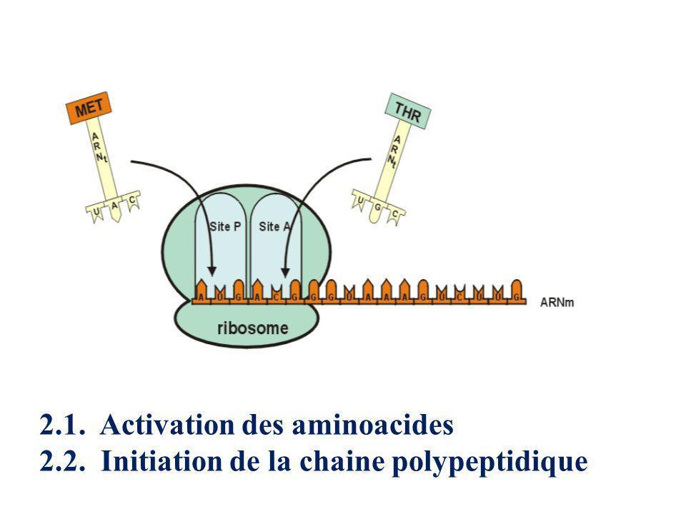 2.1. Activation des aminoacides 2.2. Initiation de la chaine polypeptidique