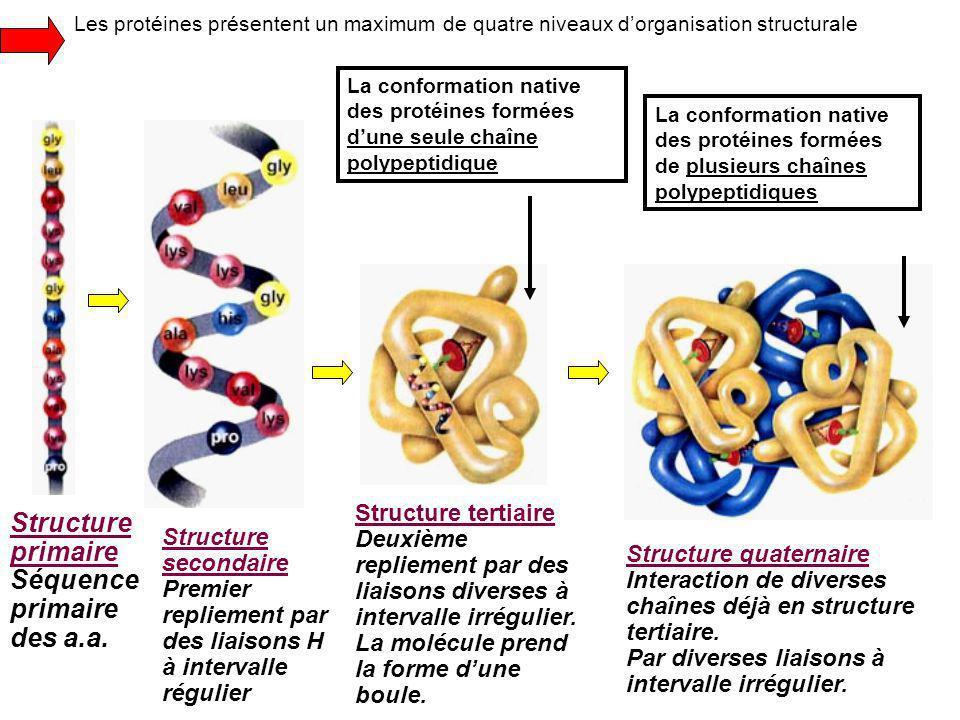 Les protéines présentent un maximum de quatre niveaux d'organisation structurale Structure primaire Séquence primaire des a.a.