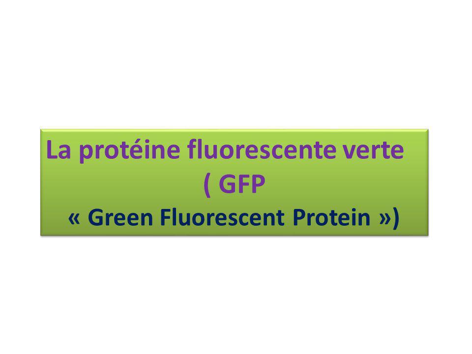 La protéine fluorescente verte ( GFP « Green Fluorescent Protein ») La protéine fluorescente verte ( GFP « Green Fluorescent Protein »)
