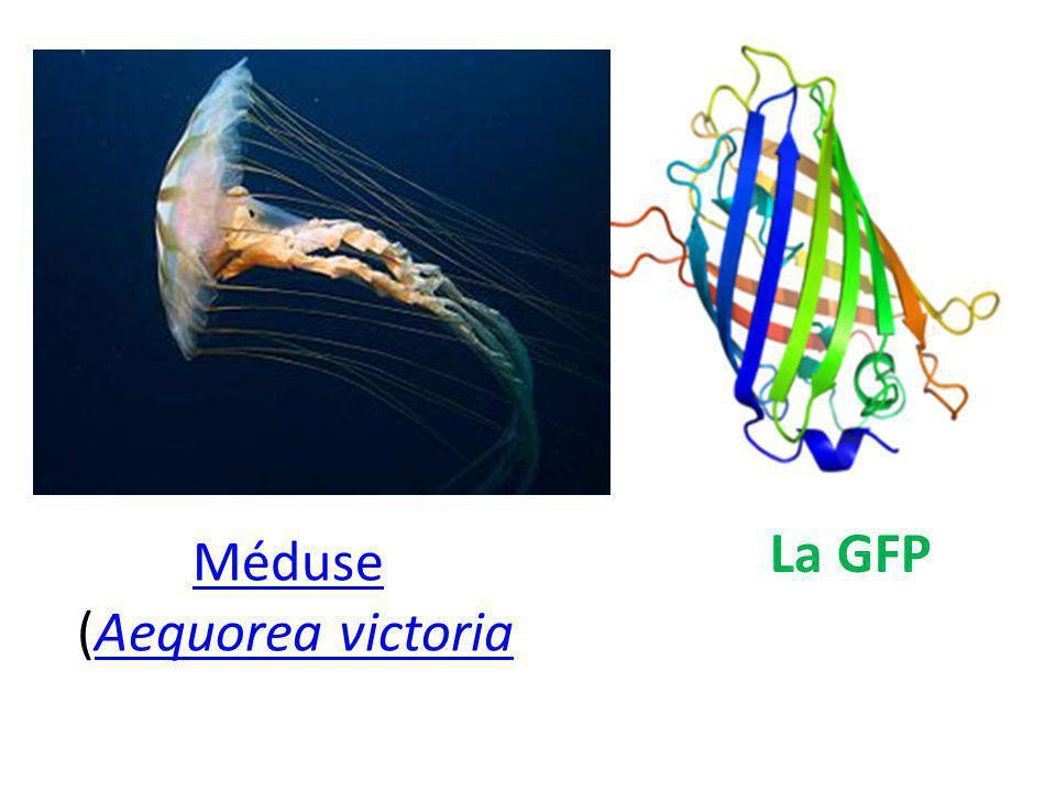 La GFP Méduse (Aequorea victoriaAequorea victoria