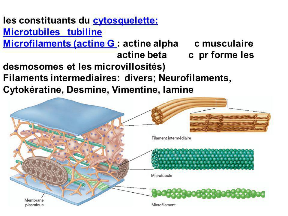 les constituants du cytosquelette:cytosquelette: Microtubiles tubiline Microfilaments (actine G Microfilaments (actine G : actine alpha c musculaire actine beta c pr forme les desmosomes et les microvillosités) Filaments intermediaires: divers; Neurofilaments, Cytokératine, Desmine, Vimentine, lamine