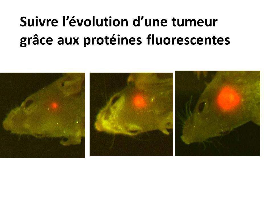 Suivre l'évolution d'une tumeur grâce aux protéines fluorescentes
