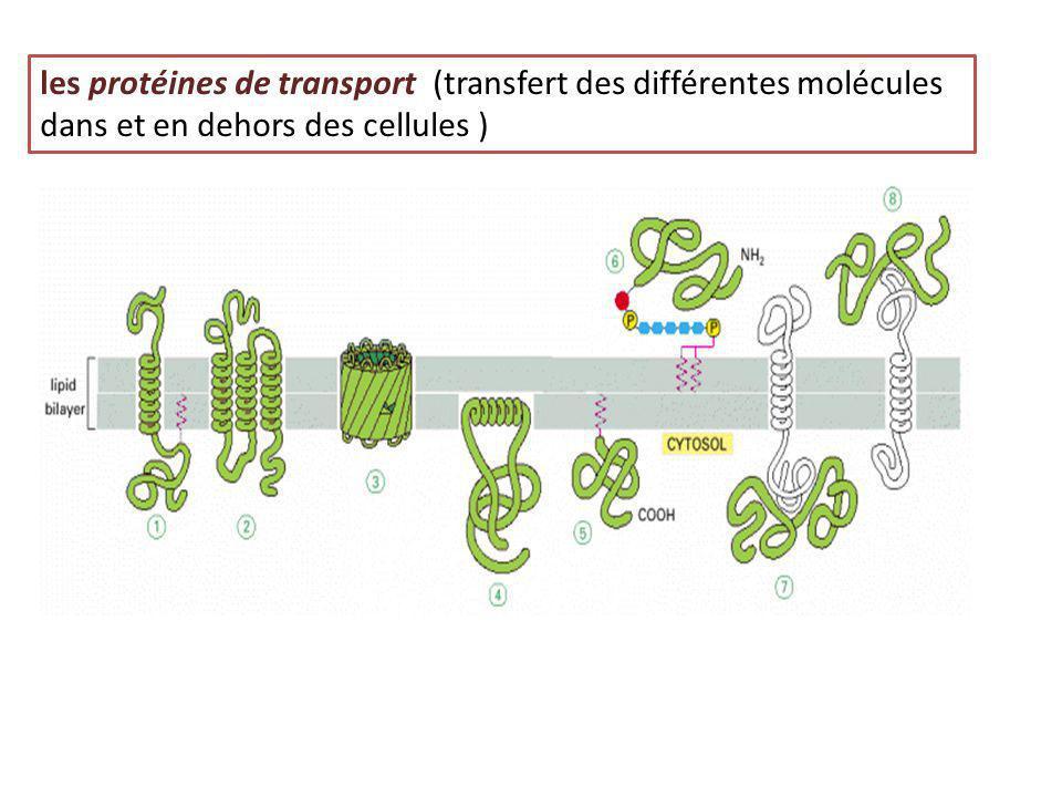 les protéines de transport (transfert des différentes molécules dans et en dehors des cellules )