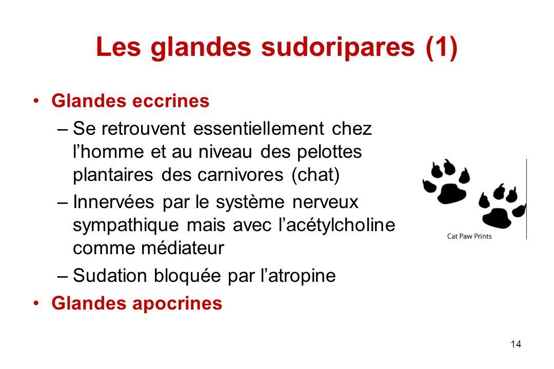 Les glandes sudoripares (1) Glandes eccrines –Se retrouvent essentiellement chez l'homme et au niveau des pelottes plantaires des carnivores (chat) –I