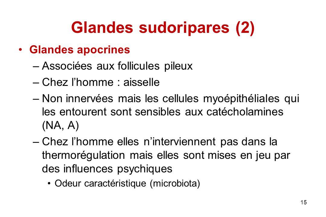 Glandes sudoripares (2) Glandes apocrines –Associées aux follicules pileux –Chez l'homme : aisselle –Non innervées mais les cellules myoépithéliales q