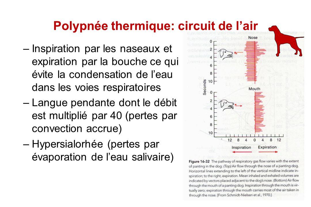 Polypnée thermique: circuit de l'air –Inspiration par les naseaux et expiration par la bouche ce qui évite la condensation de l'eau dans les voies res