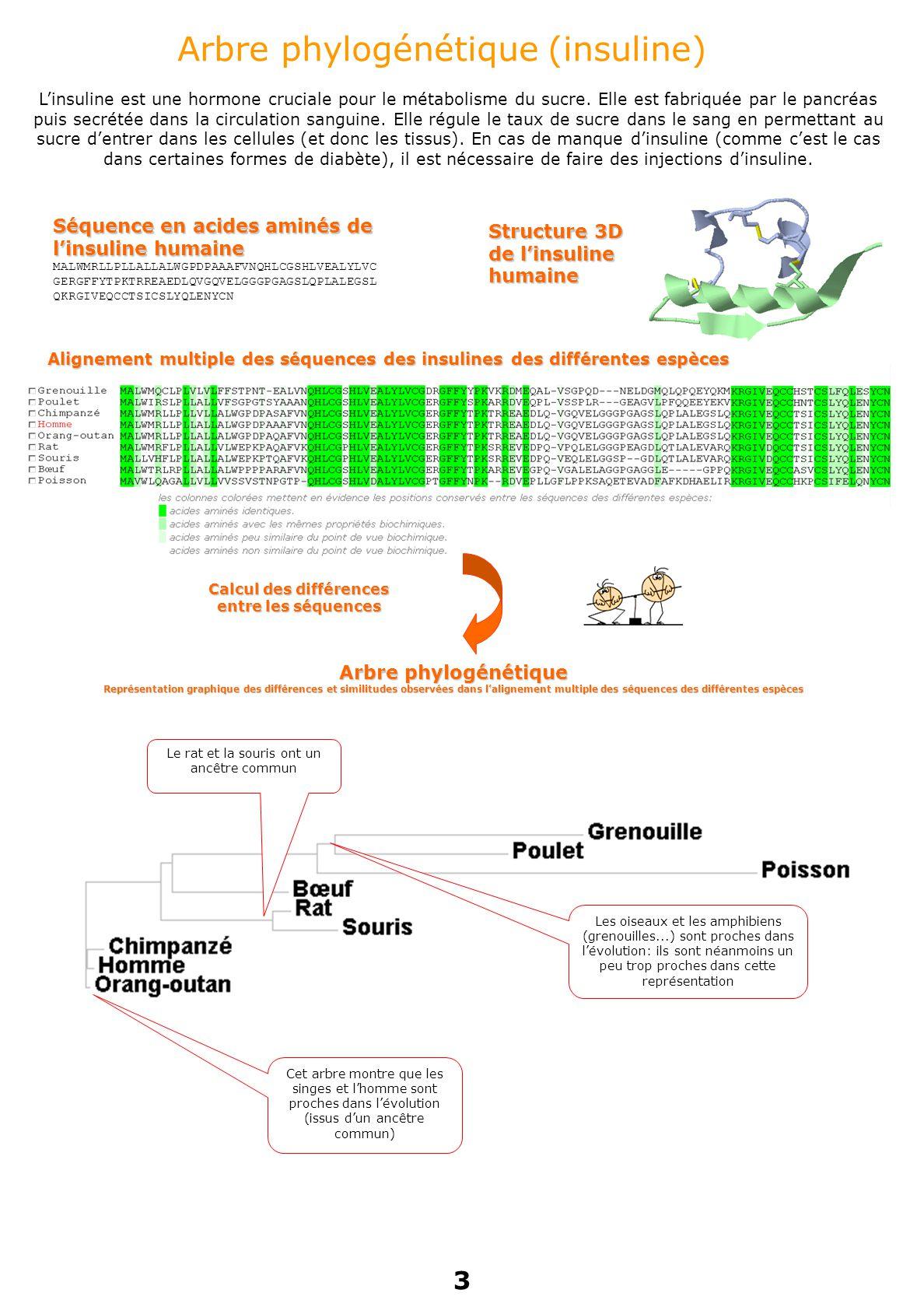 Arbre phylogénétique (insuline) Séquence en acides aminés de l'insuline humaine MALWMRLLPLLALLALWGPDPAAAFVNQHLCGSHLVEALYLVC GERGFFYTPKTRREAEDLQVGQVELGGGPGAGSLQPLALEGSL QKRGIVEQCCTSICSLYQLENYCN Structure 3D de l'insuline humaine Cet arbre montre que les singes et l'homme sont proches dans l'évolution (issus d'un ancêtre commun) Le rat et la souris ont un ancêtre commun Les oiseaux et les amphibiens (grenouilles...) sont proches dans l'évolution: ils sont néanmoins un peu trop proches dans cette représentation Alignement multiple des séquences des insulines des différentes espèces Calcul des différences entre les séquences Arbre phylogénétique Représentation graphique des différences et similitudes observées dans l'alignement multiple des séquences des différentes espèces L'insuline est une hormone cruciale pour le métabolisme du sucre.