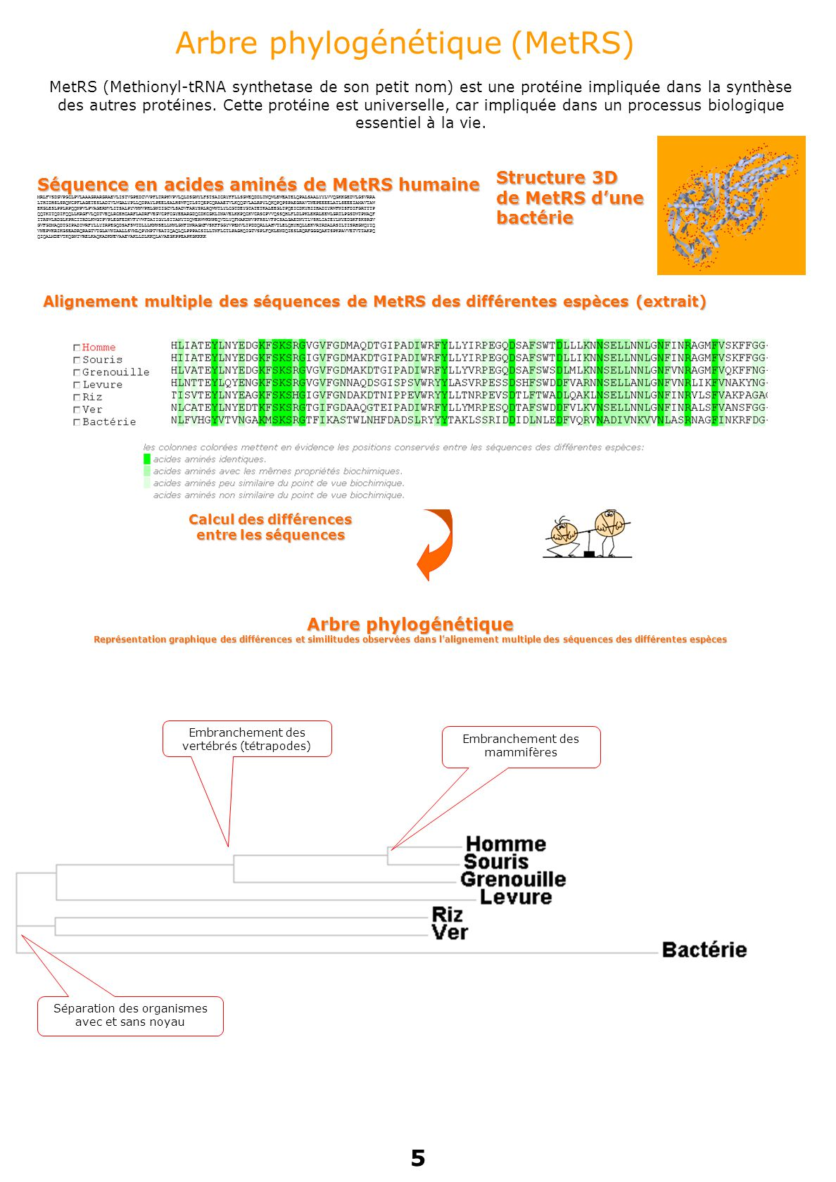Arbre phylogénétique (MetRS) MetRS (Methionyl-tRNA synthetase de son petit nom) est une protéine impliquée dans la synthèse des autres protéines.