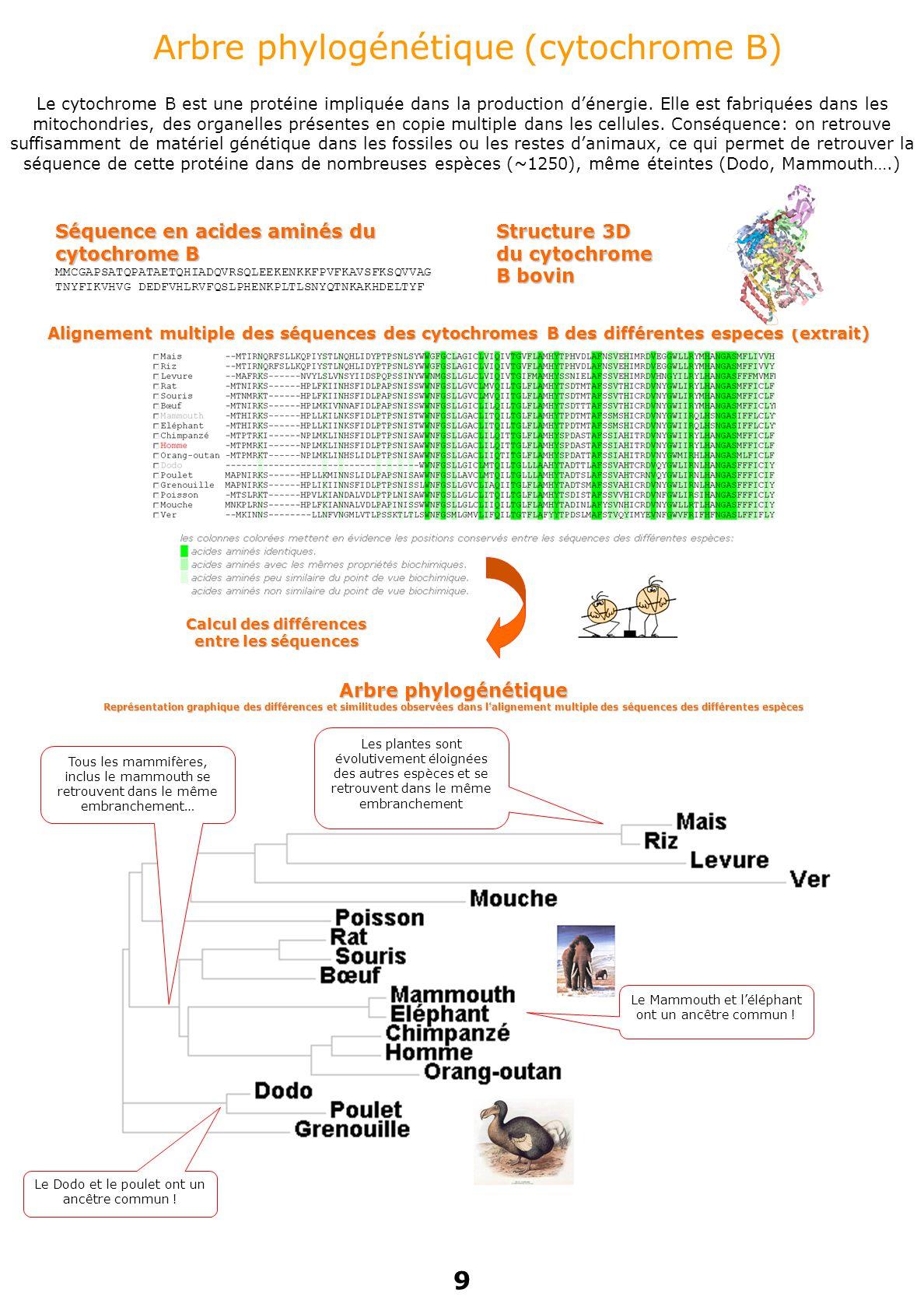 Arbre phylogénétique (cytochrome B) Le cytochrome B est une protéine impliquée dans la production d'énergie.