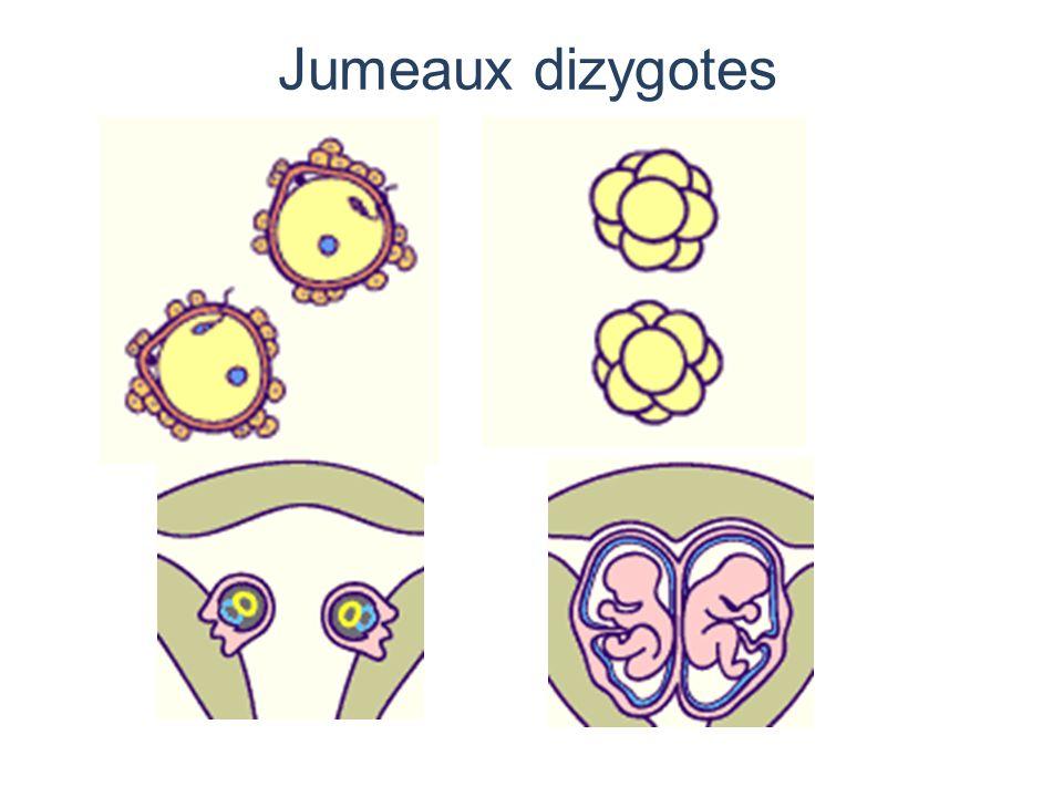 Les jumeaux monozygotes Provenant d un seul oeuf 3 à 4 sur 1 000 naissances Résultent du clivage des blastomères à divers stades du développement