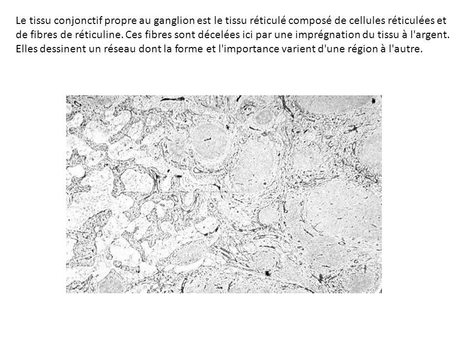 Le tissu conjonctif propre au ganglion est le tissu réticulé composé de cellules réticulées et de fibres de réticuline. Ces fibres sont décelées ici p