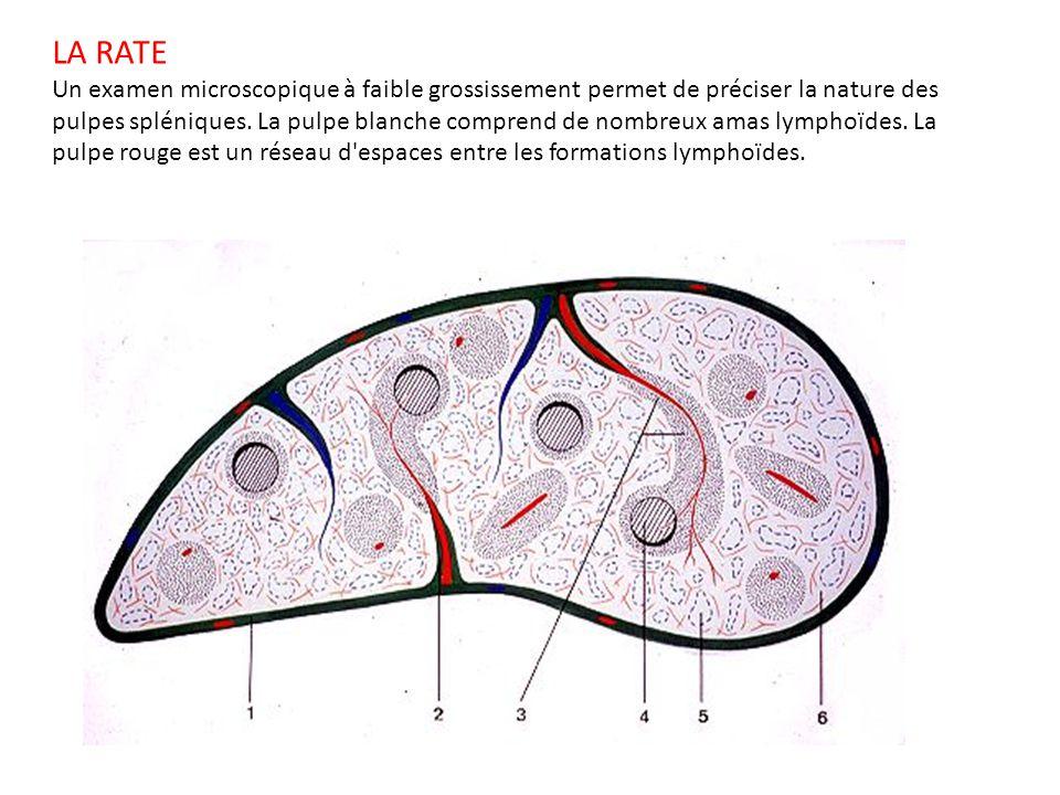 LA RATE Un examen microscopique à faible grossissement permet de préciser la nature des pulpes spléniques. La pulpe blanche comprend de nombreux amas