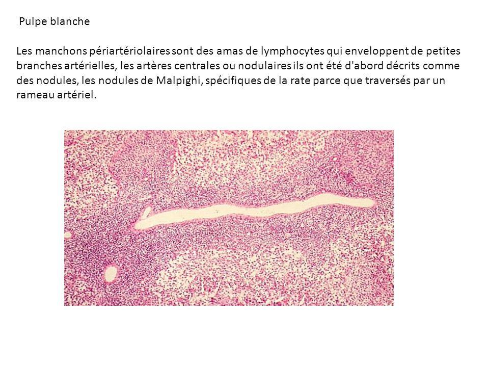 Pulpe rouge: Dans la pulpe rouge, les sinusoïdes veineux sont identifiables parce que ce sont de larges espaces vasculaires qui apparaissent plus clairs que les structures voisines.