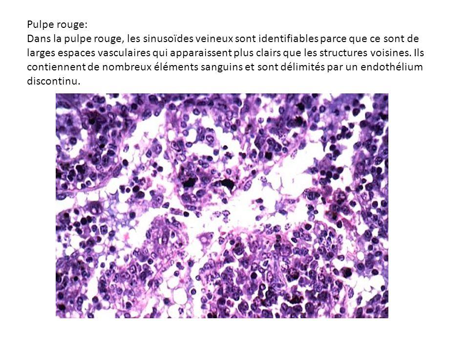 Le tissu lymphoïde annexé au tube digestif Cellules de la muqueuse Le chorion de la muqueuse digestive est particulièrement riche en cellules lymphoïdes disséminées.