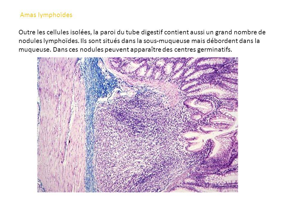 Amas lymphoïdes Outre les cellules isolées, la paroi du tube digestif contient aussi un grand nombre de nodules lymphoïdes. Ils sont situés dans la so