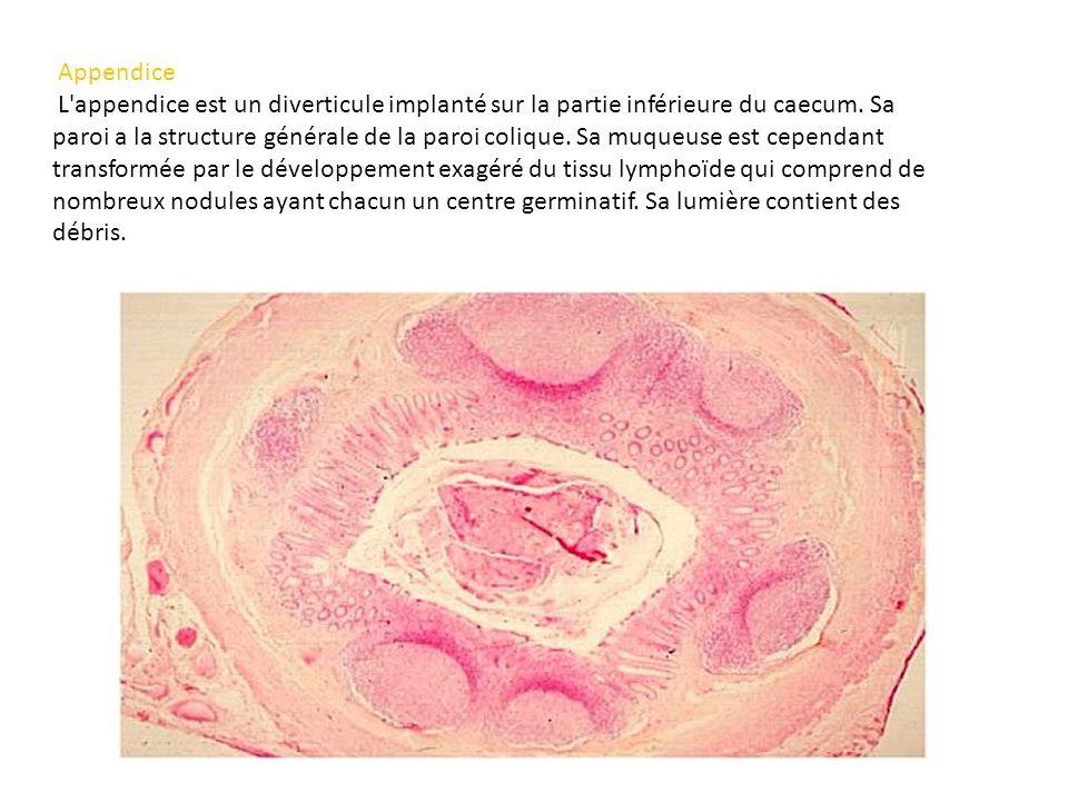 Appendice L'appendice est un diverticule implanté sur la partie inférieure du caecum. Sa paroi a la structure générale de la paroi colique. Sa muqueus