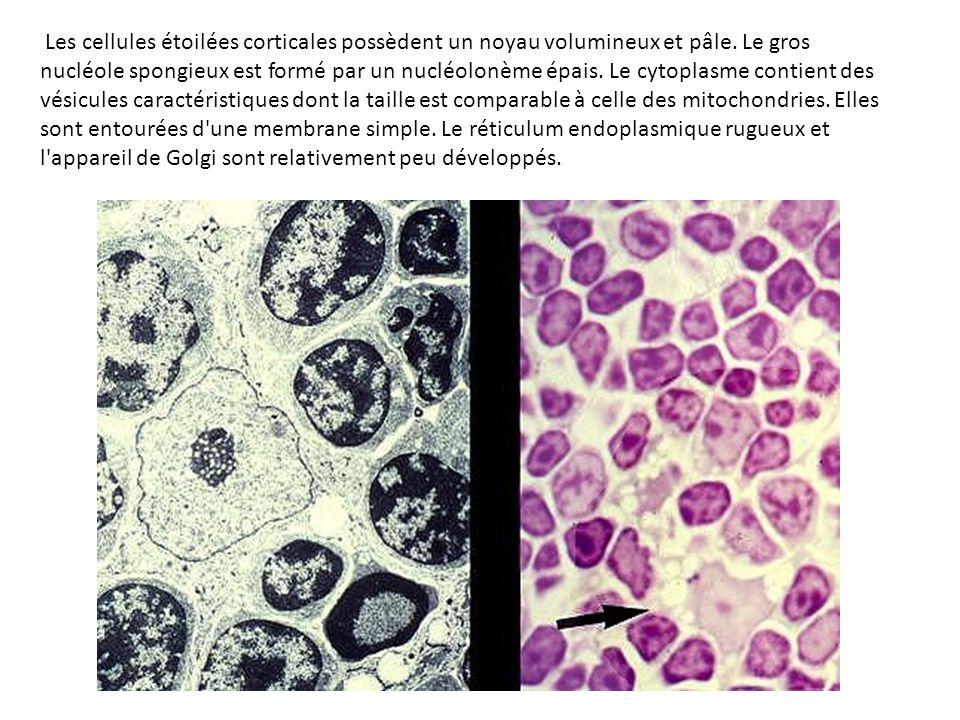 Les cellules étoilées corticales possèdent un noyau volumineux et pâle. Le gros nucléole spongieux est formé par un nucléolonème épais. Le cytoplasme