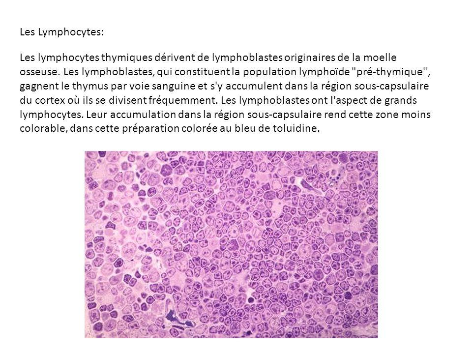 Les Lymphocytes: Les lymphocytes thymiques dérivent de lymphoblastes originaires de la moelle osseuse. Les lymphoblastes, qui constituent la populatio