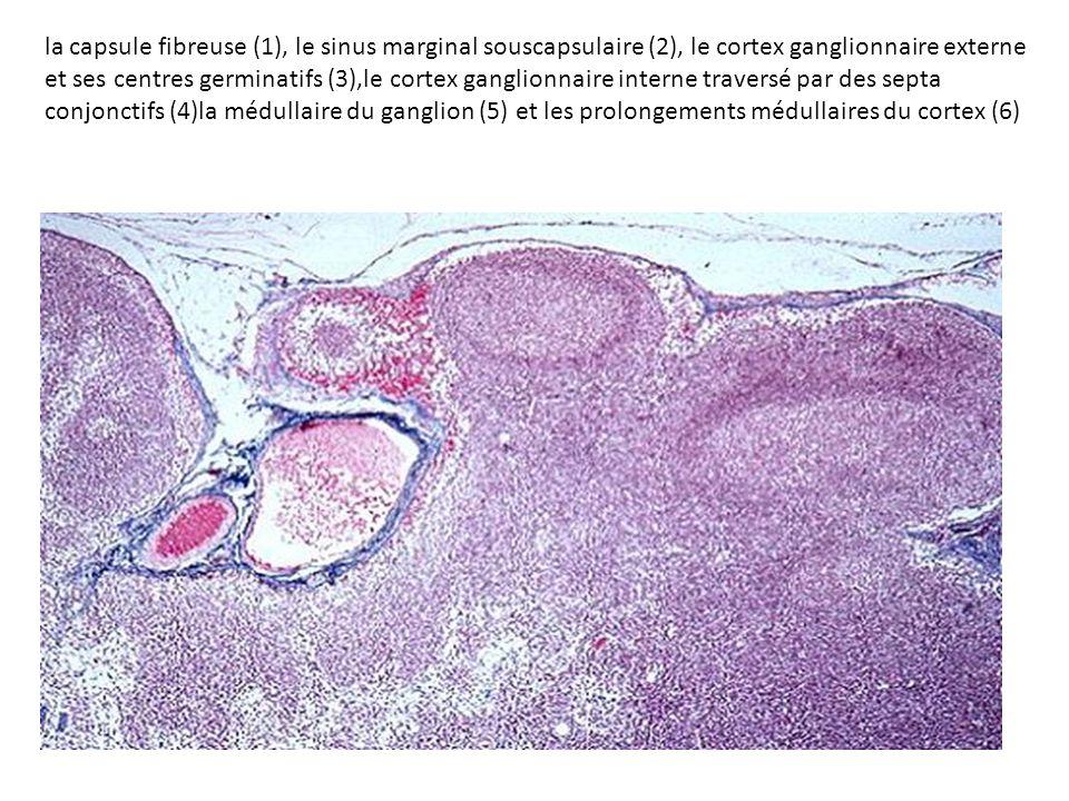 la capsule fibreuse (1), le sinus marginal souscapsulaire (2), le cortex ganglionnaire externe et ses centres germinatifs (3),le cortex ganglionnaire